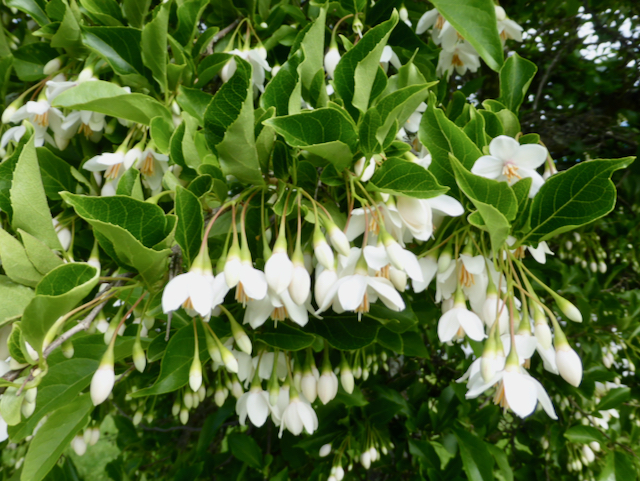 Hanging green leaves with small white blooms and buds