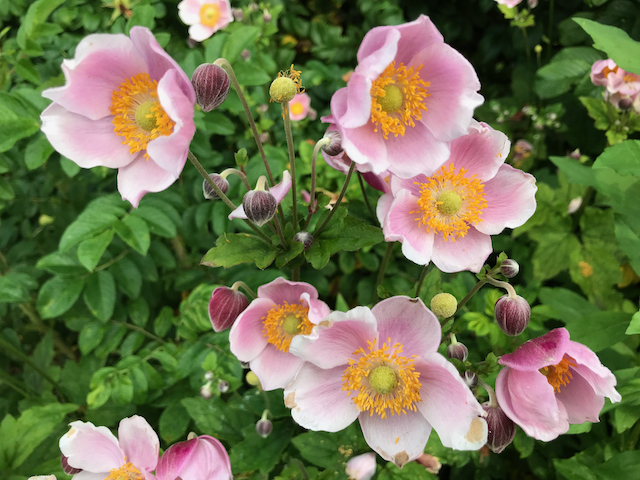 Dark pink flowers with white edges and green-yellow centers with orange stamens