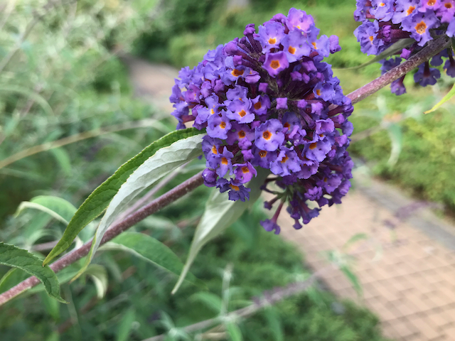 Close up of tiny purple flowers on conical cluster