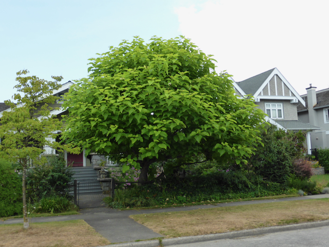 Large squate tree with big heart-shaped leaves