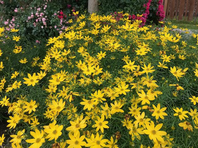large bush growing sunflower-like yellow flowers