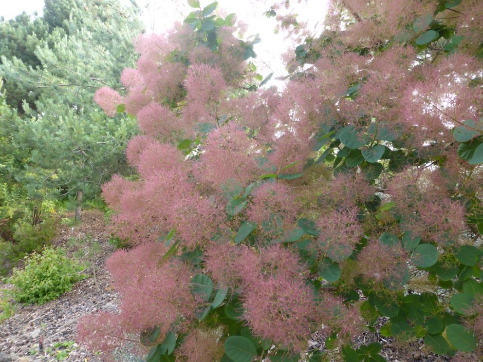 """Green leaf shrub with """"fluffy"""" bunches of smoke pink coloured flowers"""