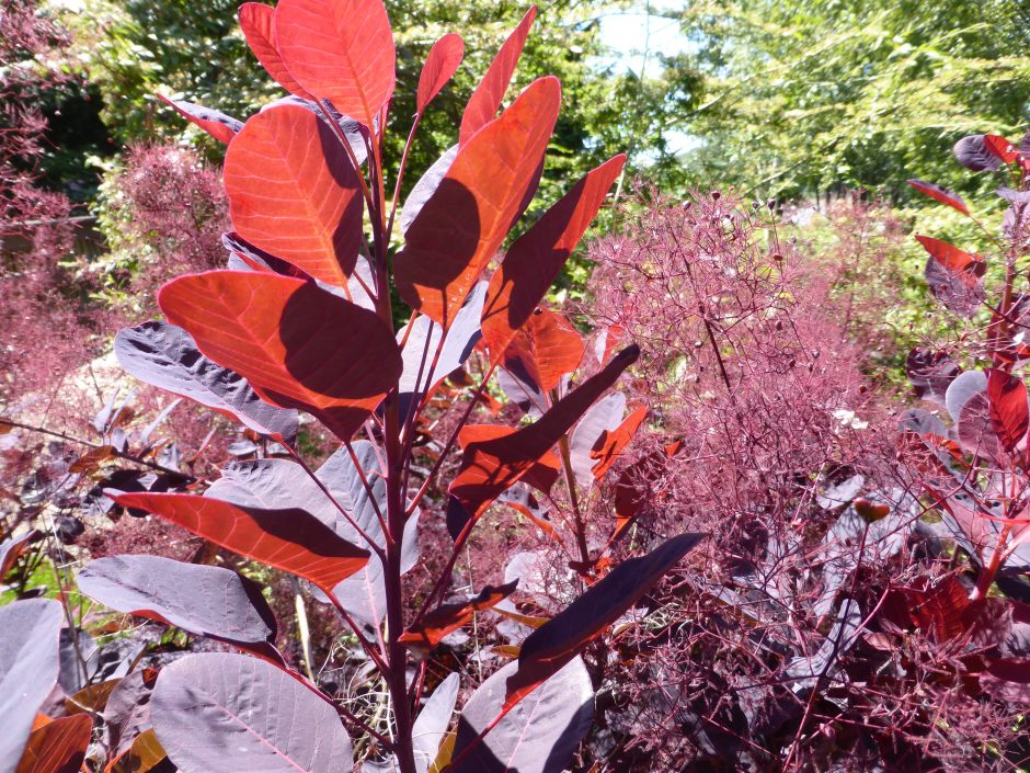 Close up of wine-red leafs and shrubs