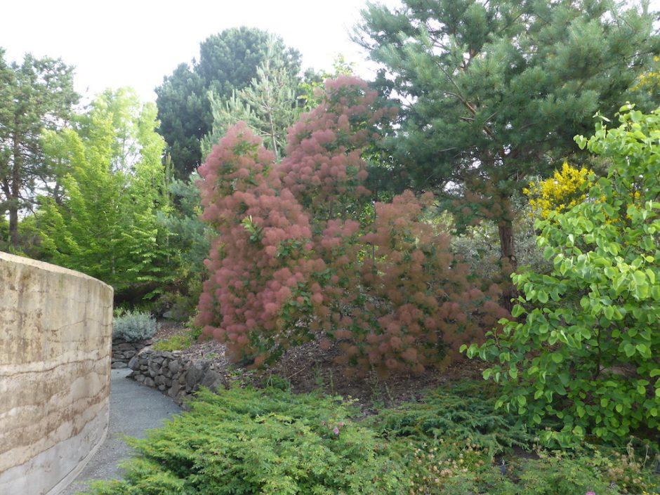 Far away shot of large pink-red shrub