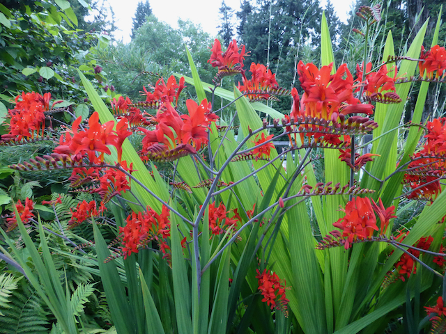 Bright red flowers on stalks surrounded by green, fan-like leaves