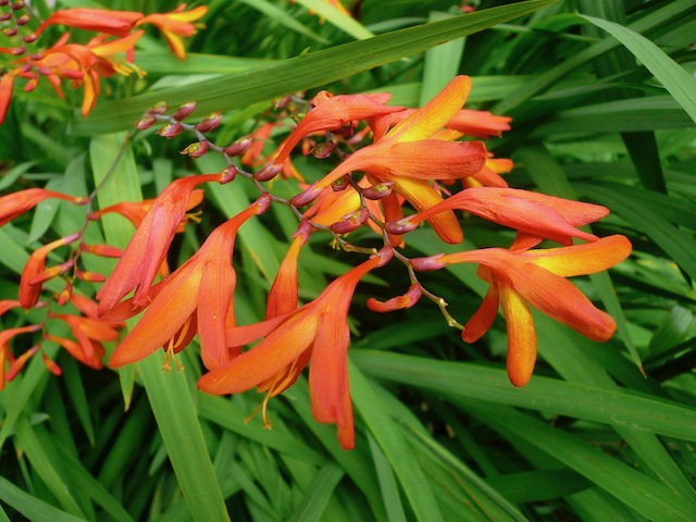 Bright orange flowers on stalks surrounded by green, fan-like leaves