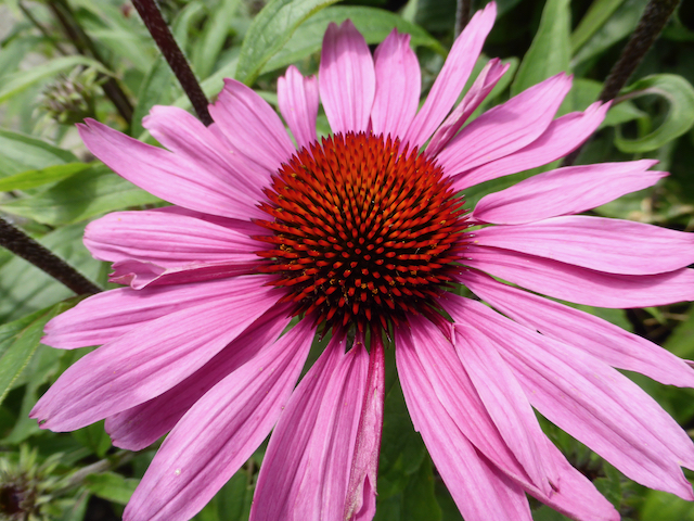 Close up of bright pink sunflower-like flower with red center