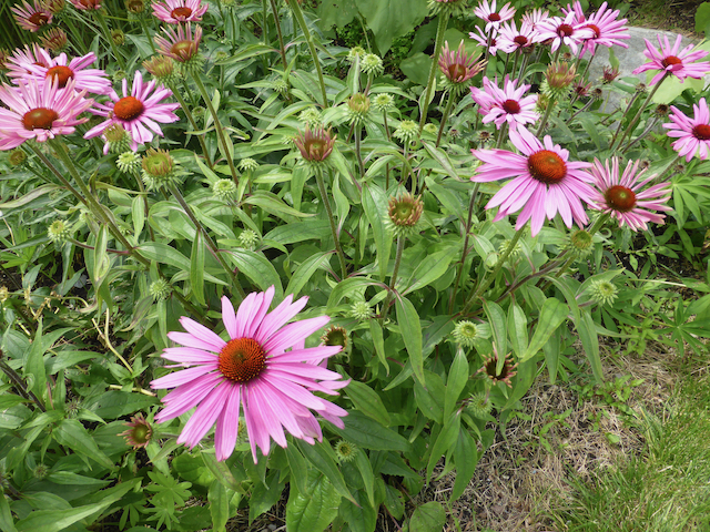Bright pink sunflower-like flowers with red centers