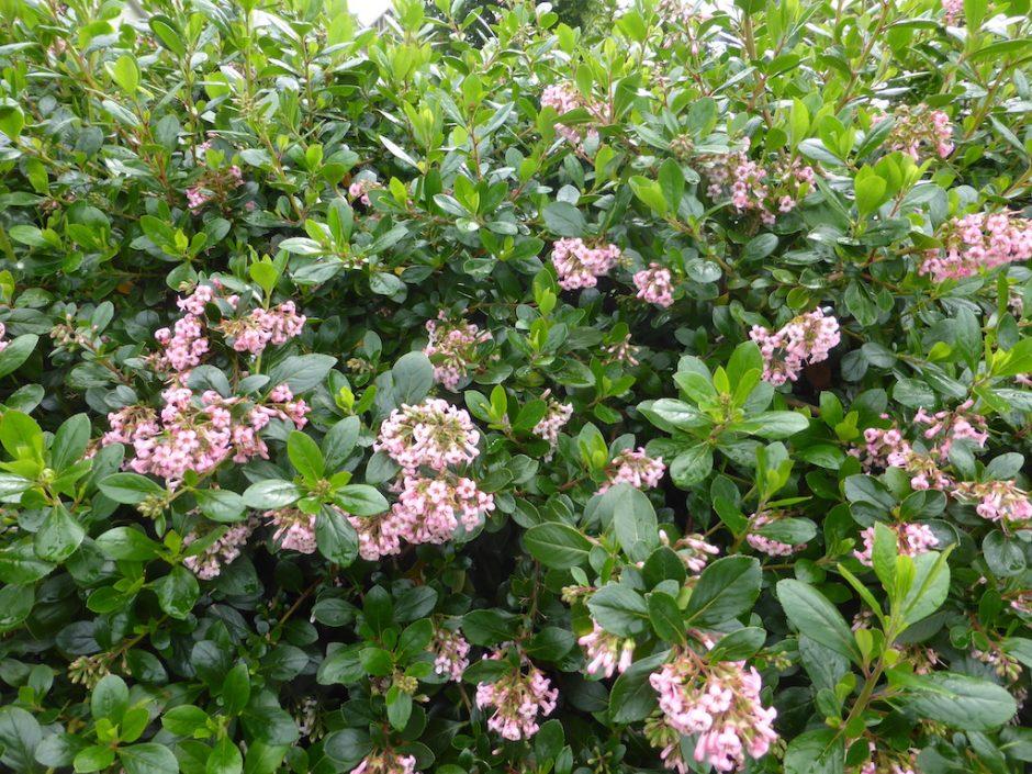 pale pink flowers on green bush, the petals folding backwards toward stem
