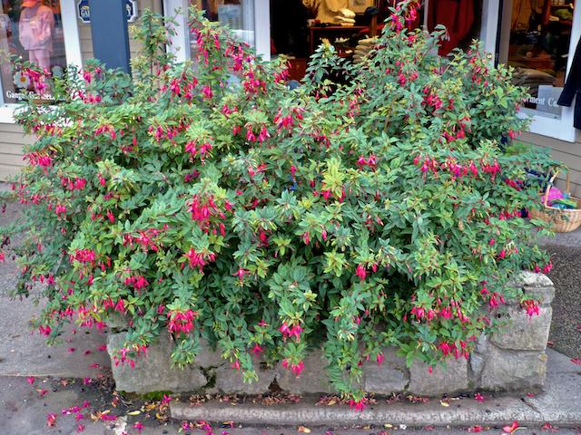 Bush of fuschia-pink flowers