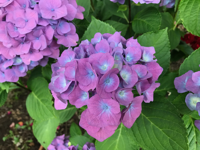 Close up of purple flowers in round clusters with blue centers