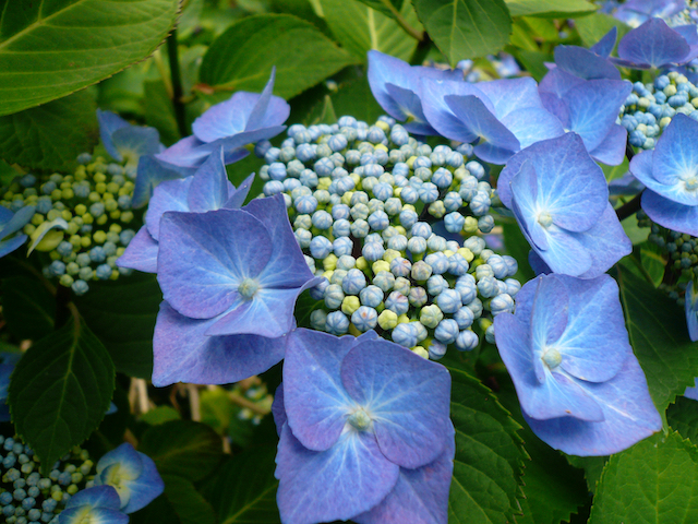 Close up of blue flowers clustered around center of flowerbuds