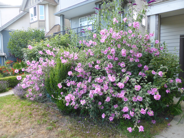 Large shrub with bright purple-pink flowers
