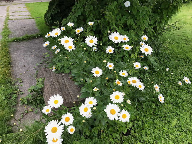 Low-growing shrub with white daisy-like flowers