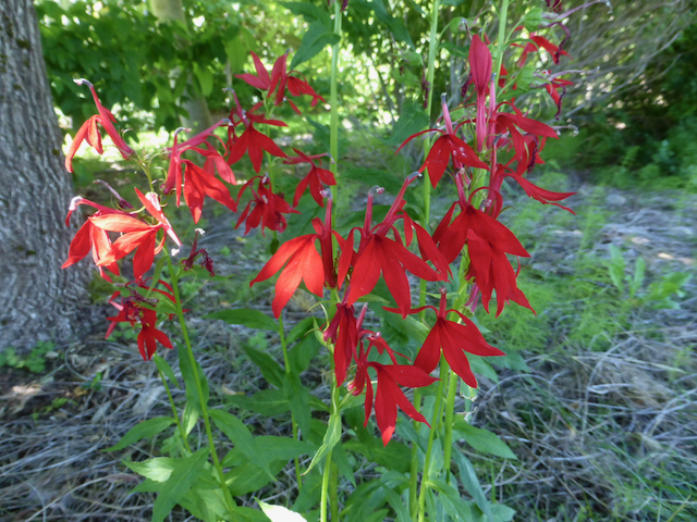 Bright red drooping flowers