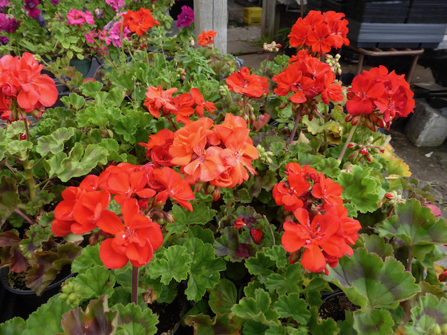 Bright red clusters of flowers