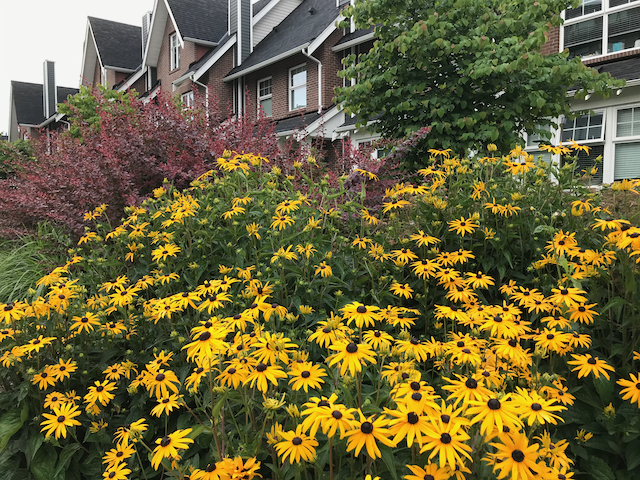 Large bush in front of houses growing sunflower-like flowers (many yellow petals, black centre)