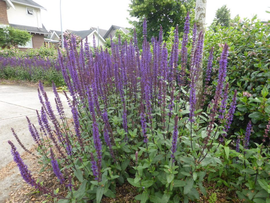 long upright stems with dark purple flowers growing all the way up