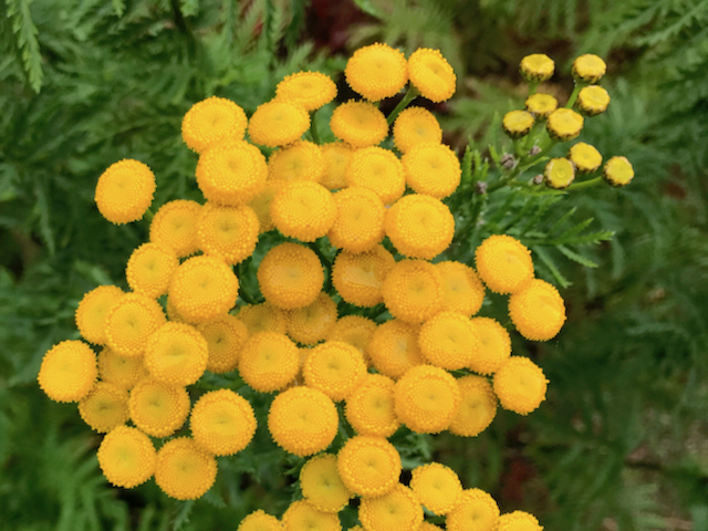 Thick cluster of yellow button-like flowers