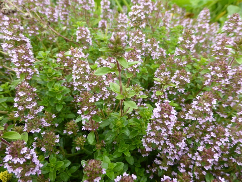 close up of very pale pink-purple flowers growing in a cone-like cluster around upright stems