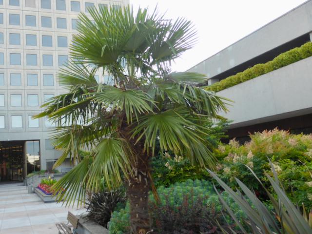 Palm tree with fan-like fronds