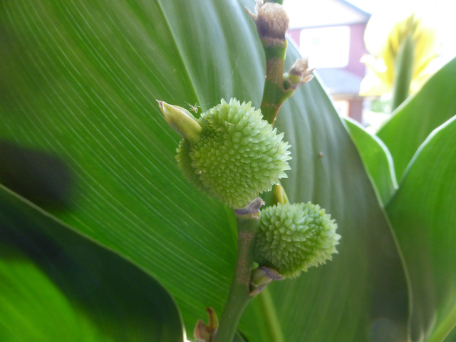 two spiky green buds growing on stem