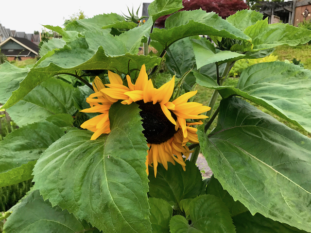 Large leaves hiding wide yellow sunflower