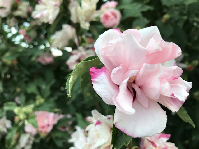Pale pink and white blooms on dark green shrub, one in the forefront close up