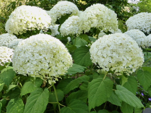 broad-leaved green shrub with giant globular clusters of small greenish white flowers