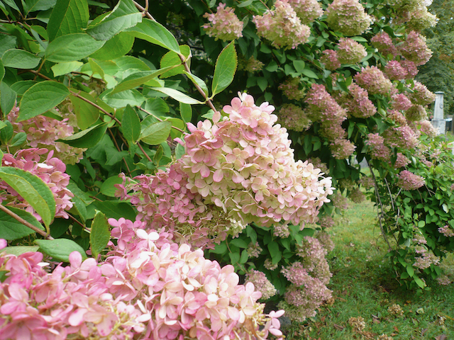 Pink to white small hydrangea flowers on bush