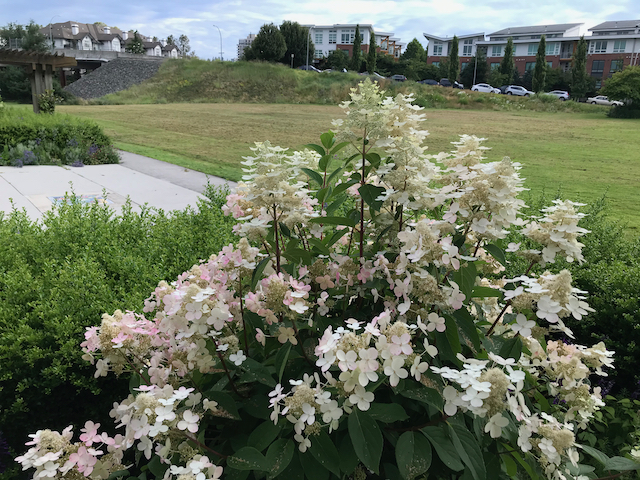 white to pink flowers on bush