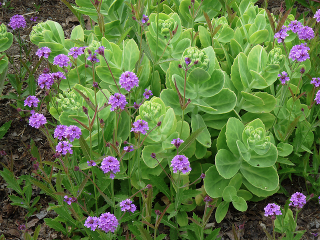 Pale green ground-cover with many-layer like leaves beside bright purple flowers on thin stalks