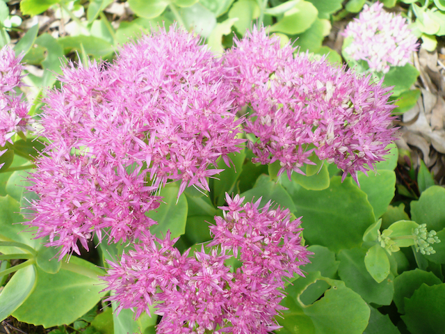 Small pink-purple clusters of flowers