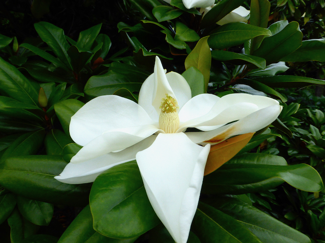 Large creamy white flower on thick green leaves