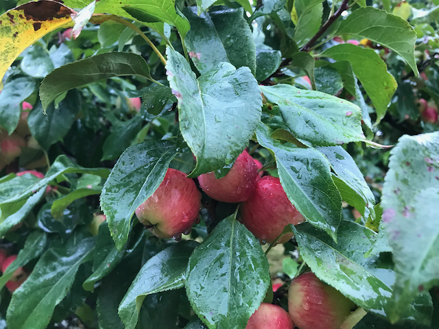 Large dark green leaves with red apples in rain