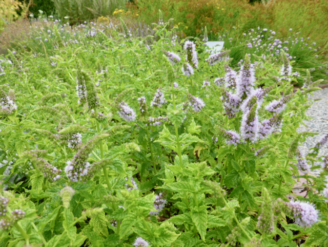 """large growth of mint with conical spikes of pale purple, """"fluffy"""" flowers"""