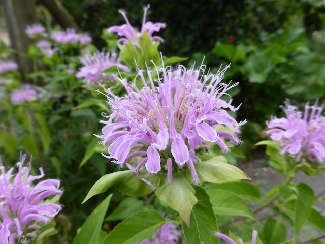 close up of pale purple-pink flower