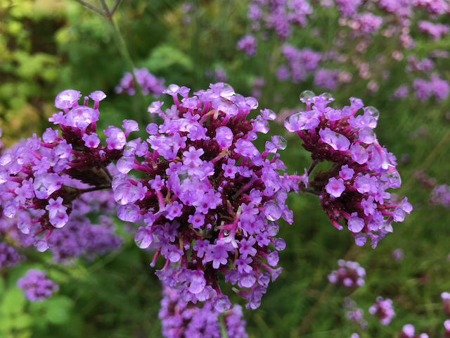 Close up of cluster of purple flowers