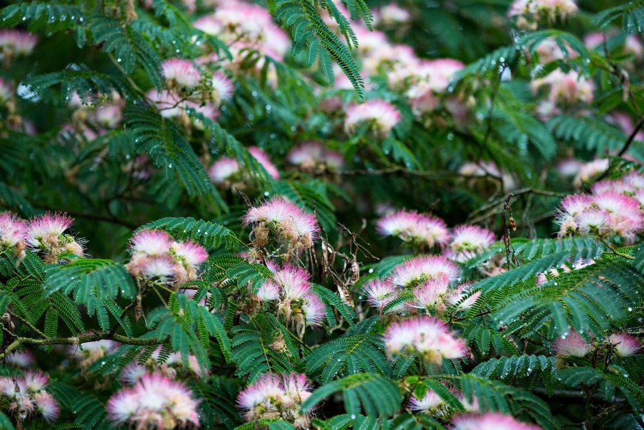 emerald green fern-like leaves with silk, fan-like pink-white flowers