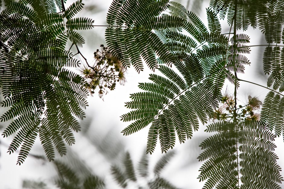 ground-to-sky shot with greenish silhouettes of thin fern-like leaves