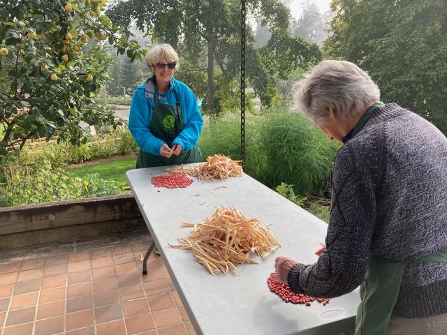 Friends of UBC Botanical Garden (FOG) volunteers de-shell beans in the Food Garden