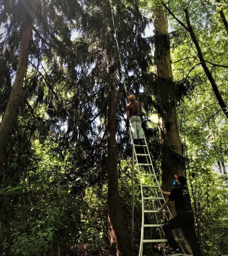 Researchers reaching with device to extract branch samples from conifer trees using a ladder