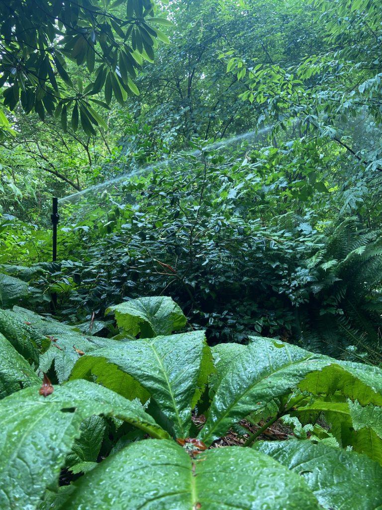 sprinkler sprays green shrubs in David C. Lam Asian Garden